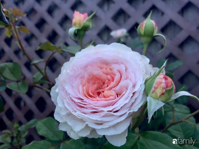 Vườn hồng đầy hoa và nắng của người phụ nữ Việt yêu thích trồng hồng ở Mỹ - Ảnh 8.