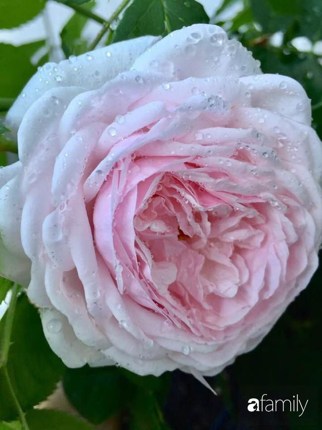 Vườn hồng đầy hoa và nắng của người phụ nữ Việt yêu thích trồng hồng ở Mỹ - Ảnh 7.