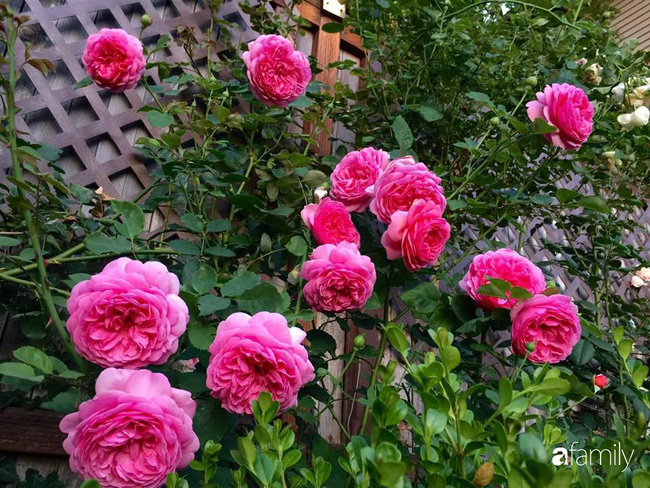 Vườn hồng đầy hoa và nắng của người phụ nữ Việt yêu thích trồng hồng ở Mỹ - Ảnh 1.