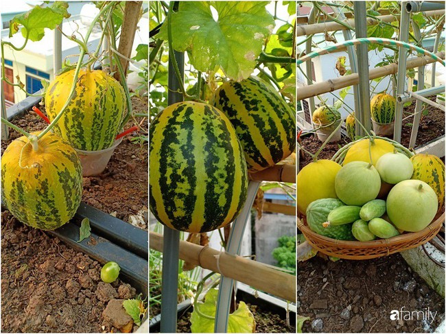 Bà mẹ Hà Nội với đam mê trồng đủ loại dưa sai quả trên sân thượng nhỏ hẹp - Ảnh 14.