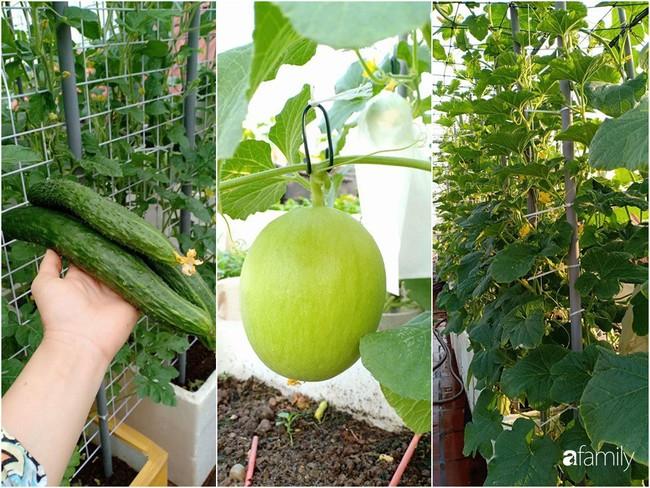 Bà mẹ Hà Nội với đam mê trồng đủ loại dưa sai quả trên sân thượng nhỏ hẹp - Ảnh 13.