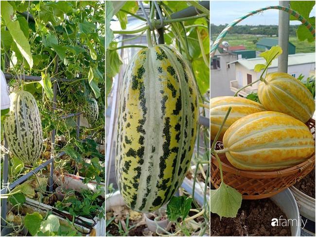 Bà mẹ Hà Nội với đam mê trồng đủ loại dưa sai quả trên sân thượng nhỏ hẹp - Ảnh 12.