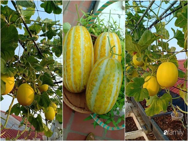 Bà mẹ Hà Nội với đam mê trồng đủ loại dưa sai quả trên sân thượng nhỏ hẹp - Ảnh 9.