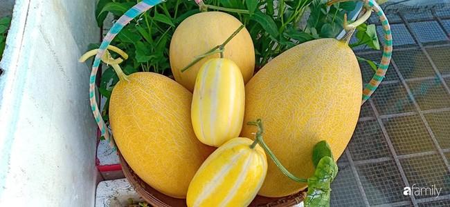 Bà mẹ Hà Nội với đam mê trồng đủ loại dưa sai quả trên sân thượng nhỏ hẹp - Ảnh 8.