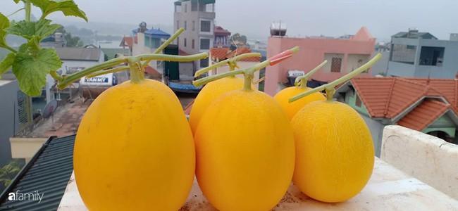 Bà mẹ Hà Nội với đam mê trồng đủ loại dưa sai quả trên sân thượng nhỏ hẹp - Ảnh 7.