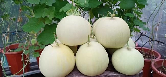 Bà mẹ Hà Nội với đam mê trồng đủ loại dưa sai quả trên sân thượng nhỏ hẹp - Ảnh 6.