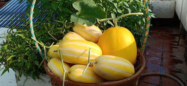 Bà mẹ Hà Nội với đam mê trồng đủ loại dưa sai quả trên sân thượng nhỏ hẹp - Ảnh 5.