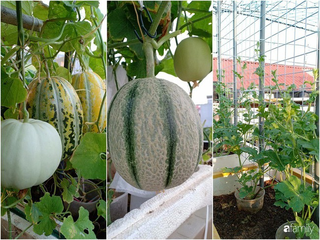 Bà mẹ Hà Nội với đam mê trồng đủ loại dưa sai quả trên sân thượng nhỏ hẹp - Ảnh 4.