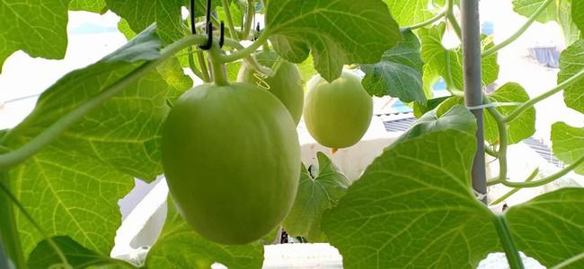 Bà mẹ Hà Nội với đam mê trồng đủ loại dưa sai quả trên sân thượng nhỏ hẹp - Ảnh 10.