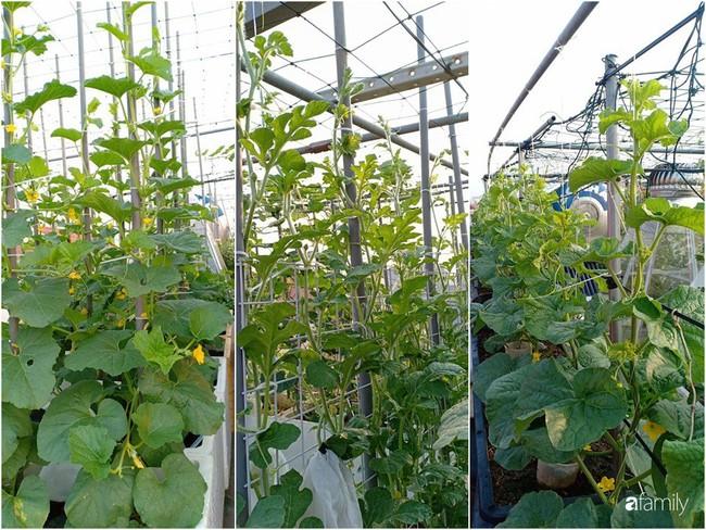 Bà mẹ Hà Nội với đam mê trồng đủ loại dưa sai quả trên sân thượng nhỏ hẹp - Ảnh 2.