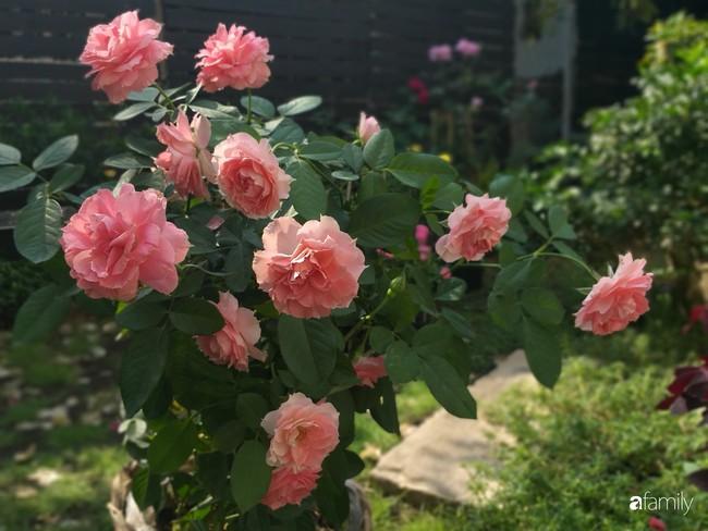 Khu vườn hoa hồng ngọt ngào mang chút hoài niệm của cặp vợ chồng cùng dành thời gian chăm chút ở An Giang - Ảnh 5.