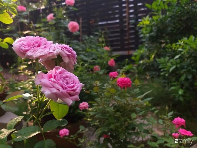Khu vườn hoa hồng ngọt ngào mang chút hoài niệm của cặp vợ chồng cùng dành thời gian chăm chút ở An Giang - Ảnh 4.
