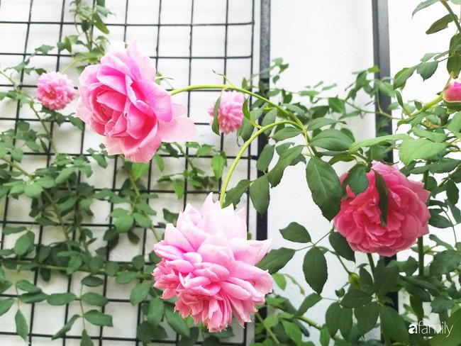 Khu vườn hoa hồng ngọt ngào mang chút hoài niệm của cặp vợ chồng cùng dành thời gian chăm chút ở An Giang - Ảnh 3.
