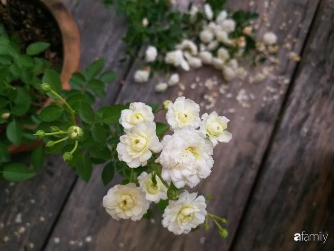 Khu vườn hoa hồng ngọt ngào mang chút hoài niệm của cặp vợ chồng cùng dành thời gian chăm chút ở An Giang - Ảnh 22.