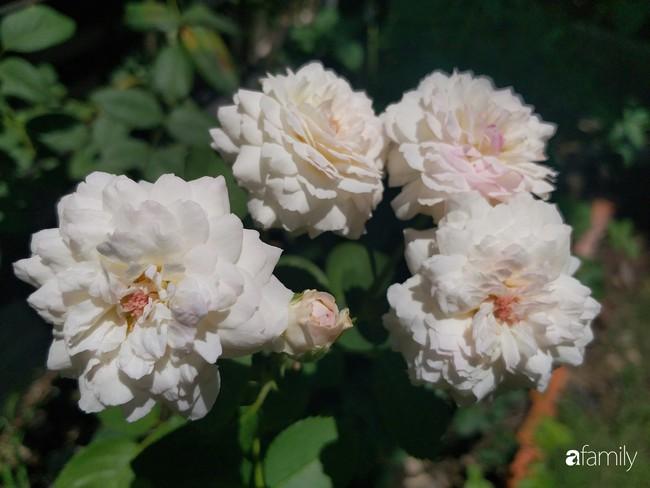 Khu vườn hoa hồng ngọt ngào mang chút hoài niệm của cặp vợ chồng cùng dành thời gian chăm chút ở An Giang - Ảnh 20.