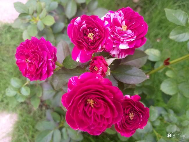 Khu vườn hoa hồng ngọt ngào mang chút hoài niệm của cặp vợ chồng cùng dành thời gian chăm chút ở An Giang - Ảnh 19.