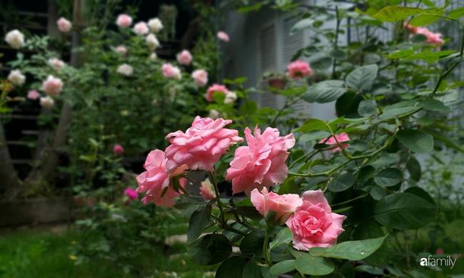 Khu vườn hoa hồng ngọt ngào mang chút hoài niệm của cặp vợ chồng cùng dành thời gian chăm chút ở An Giang - Ảnh 14.