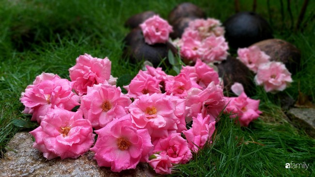 Khu vườn hoa hồng ngọt ngào mang chút hoài niệm của cặp vợ chồng cùng dành thời gian chăm chút ở An Giang - Ảnh 13.