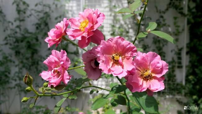 Khu vườn hoa hồng ngọt ngào mang chút hoài niệm của cặp vợ chồng cùng dành thời gian chăm chút ở An Giang - Ảnh 11.