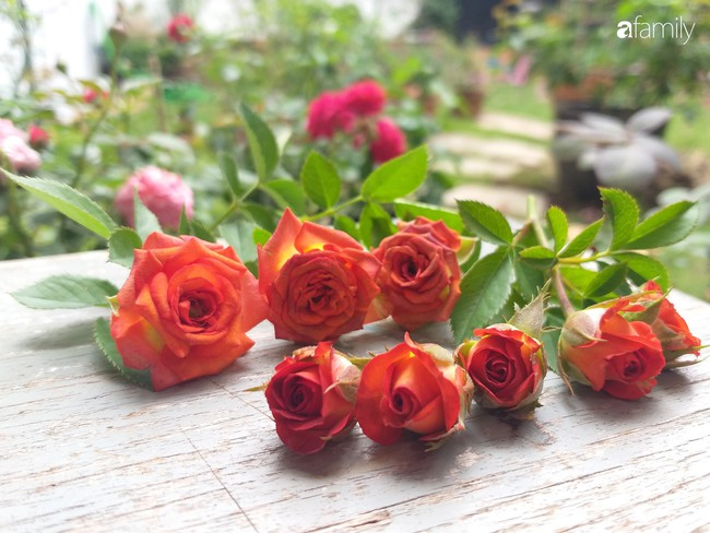 Khu vườn hoa hồng ngọt ngào mang chút hoài niệm của cặp vợ chồng cùng dành thời gian chăm chút ở An Giang - Ảnh 10.