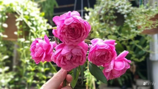 Khu vườn hoa hồng ngọt ngào mang chút hoài niệm của cặp vợ chồng cùng dành thời gian chăm chút ở An Giang - Ảnh 9.