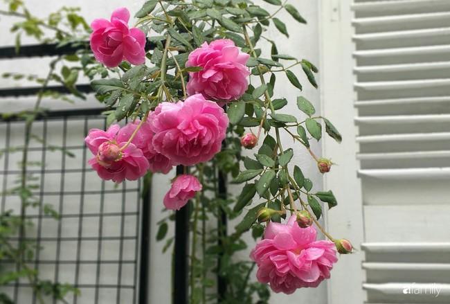 Khu vườn hoa hồng ngọt ngào mang chút hoài niệm của cặp vợ chồng cùng dành thời gian chăm chút ở An Giang - Ảnh 7.