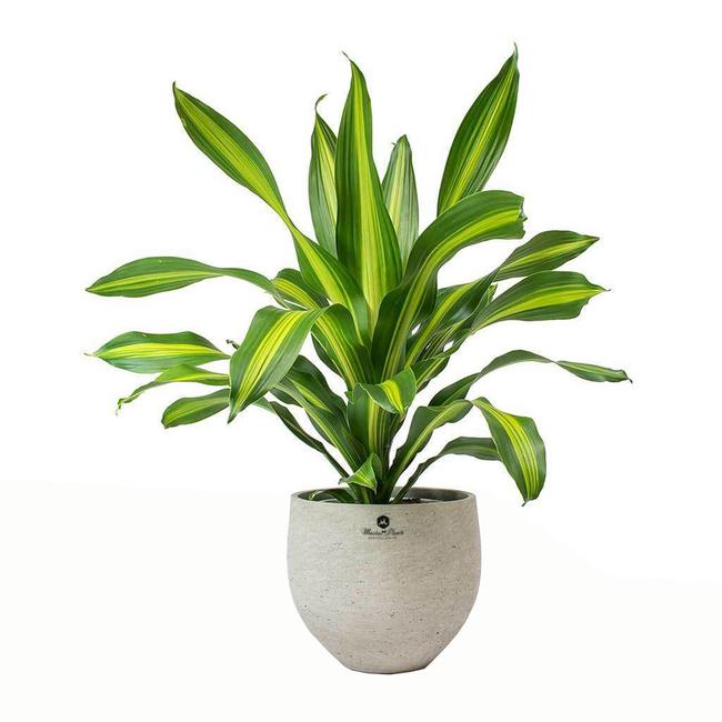 Chọn đúng loại thực vật may mắn bày nơi làm việc và tại nhà sẽ giúp công việc thuận buồm hanh thông, tiền tài chảy về đầy túi.  - Ảnh 3.