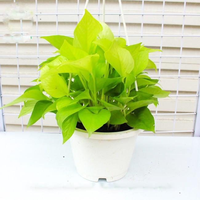 Chọn đúng loại thực vật may mắn bày nơi làm việc và tại nhà sẽ giúp công việc thuận buồm hanh thông, tiền tài chảy về đầy túi.  - Ảnh 2.