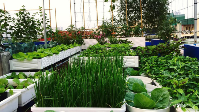Sân thượng xanh mát đa dạng rau quả sạch cho bữa ăn thêm an tâm của mẹ hai con Hà Nội - Ảnh 1.