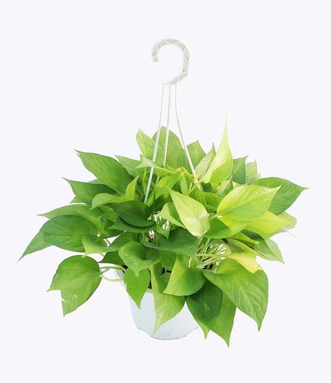 Cẩn thận với những cây cảnh có độc được trồng phổ biến trong nhà - Ảnh 3.