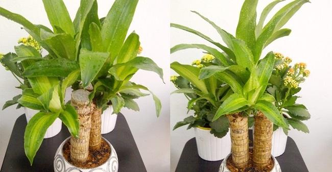 Cẩn thận với những cây cảnh có độc được trồng phổ biến trong nhà - Ảnh 6.