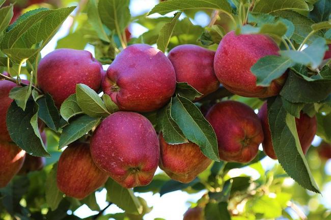 Điều kỳ diệu gì sẽ xảy ra khi ăn 2 trái táo mỗi ngày: Những công năng khiến chị em tiếc hùi hụi vì không biết sớm hơn - Ảnh 3.