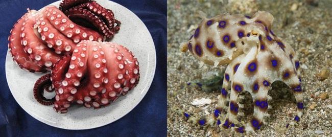 Cẩn trọng thực phẩm có bản sao y như bạch tuộc vẫn ăn nhưng có nọc độc gấp 50 lần rắn hổ mang, hàm lượng nhỏ vẫn giết chết 10 người trên 70kg - Ảnh 5.