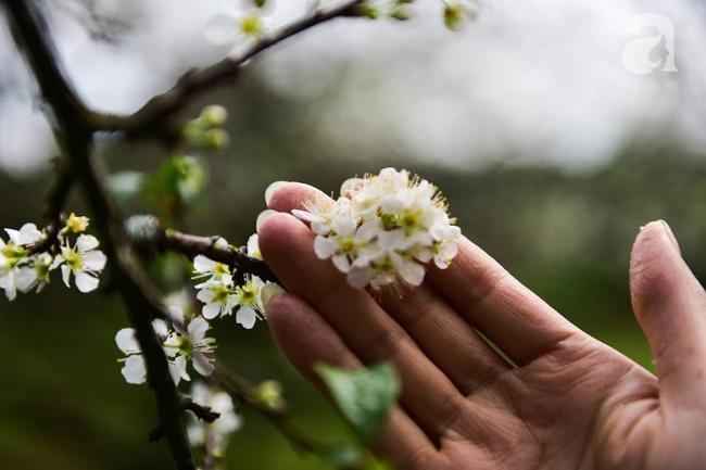 Ngược lên Mộc Châu tháng hai mùa xuân, ngắm hoa mận nở trắng trời - Ảnh 11.