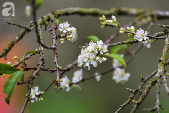 Ngược lên Mộc Châu tháng hai mùa xuân, ngắm hoa mận nở trắng trời - Ảnh 4.