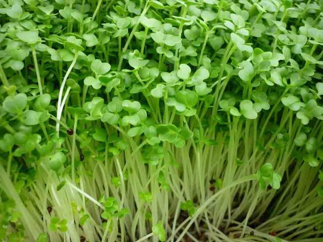 Lợi ích sức khỏe tuyệt vời của cỏ linh lăng, từ thúc đẩy giảm cân đến cải thiện quá trình tiêu hóa - Ảnh 4.