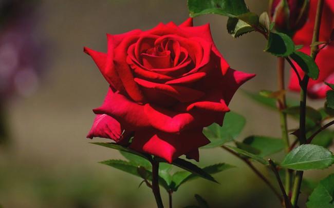 Hoa hồng không chỉ để cho đẹp nhà đẹp cửa, bạn còn có thể làm thuốc chữa bệnh, dưỡng da mịn đẹp - Ảnh 2.