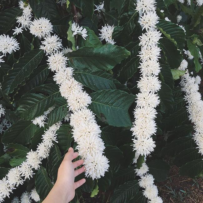Những bức ảnh hoa cà phê đẹp ngỡ ngàng khiến dân mạng thả tim không ngớt - Ảnh 2.