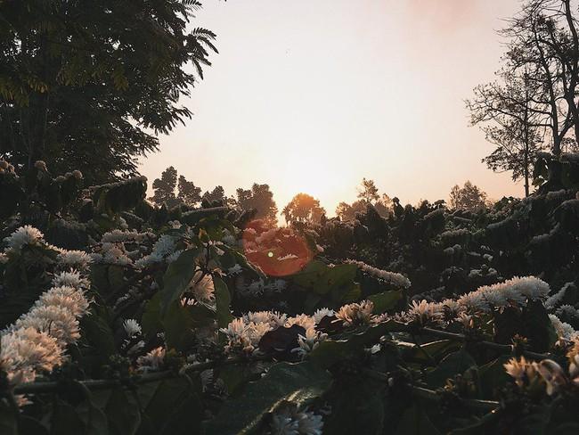 Những bức ảnh hoa cà phê đẹp ngỡ ngàng khiến dân mạng thả tim không ngớt - Ảnh 5.