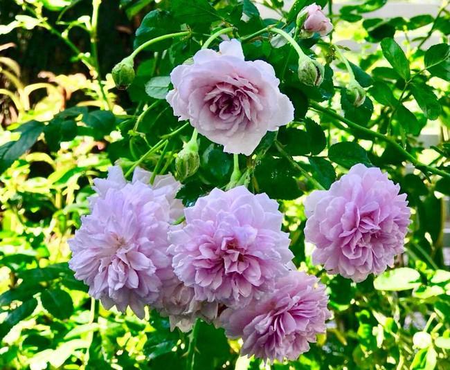 Vườn hồng với đủ loại hồng cổ, hồng ngoại khoe sắc trong biệt thự của MC Quyền Linh - Ảnh 21.