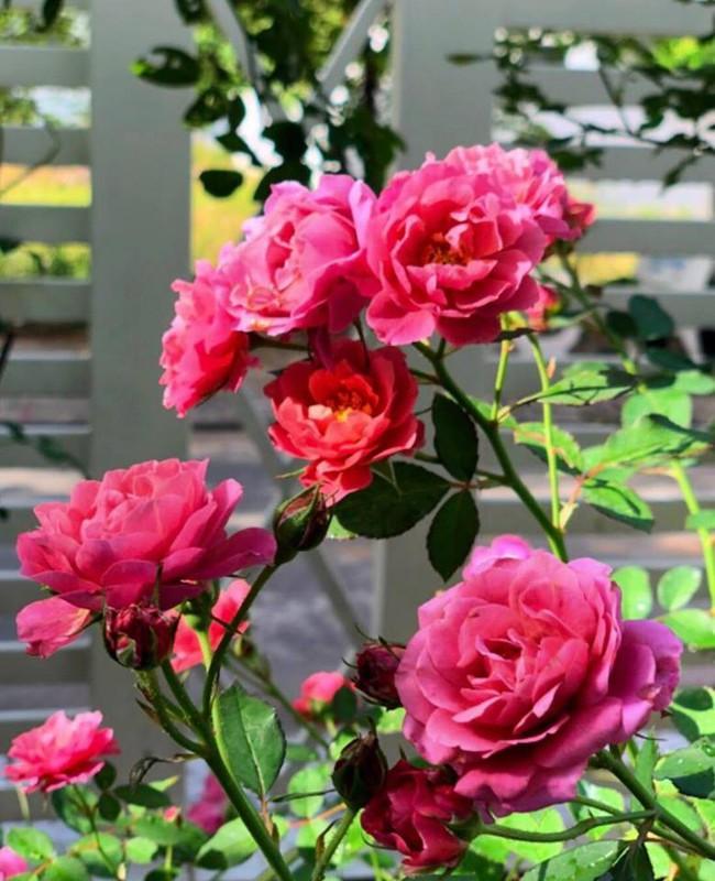 Vườn hồng với đủ loại hồng cổ, hồng ngoại khoe sắc trong biệt thự của MC Quyền Linh - Ảnh 20.