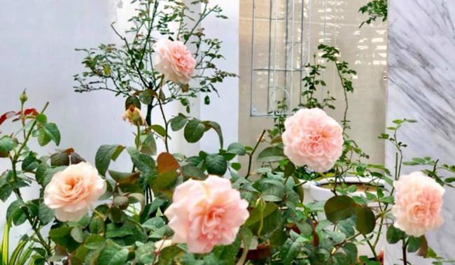 Vườn hồng với đủ loại hồng cổ, hồng ngoại khoe sắc trong biệt thự của MC Quyền Linh - Ảnh 19.