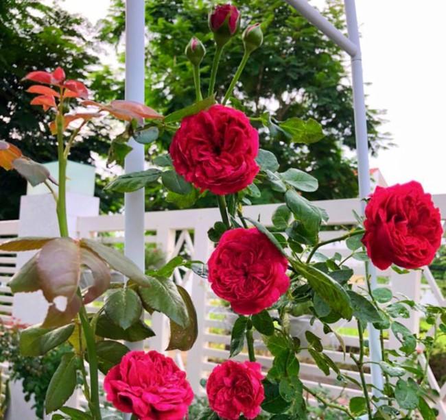 Vườn hồng với đủ loại hồng cổ, hồng ngoại khoe sắc trong biệt thự của MC Quyền Linh - Ảnh 18.