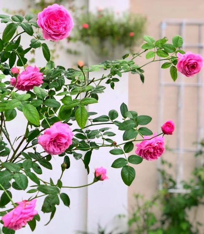 Vườn hồng với đủ loại hồng cổ, hồng ngoại khoe sắc trong biệt thự của MC Quyền Linh - Ảnh 17.