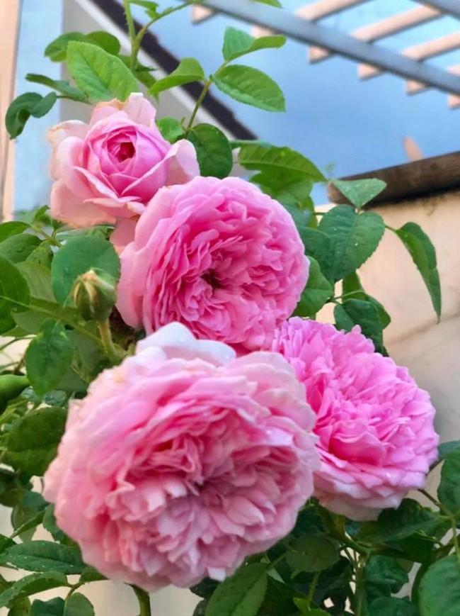 Vườn hồng với đủ loại hồng cổ, hồng ngoại khoe sắc trong biệt thự của MC Quyền Linh - Ảnh 16.