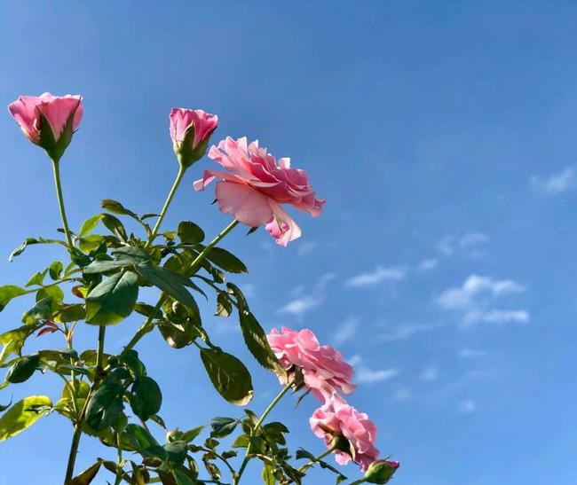 Vườn hồng với đủ loại hồng cổ, hồng ngoại khoe sắc trong biệt thự của MC Quyền Linh - Ảnh 9.