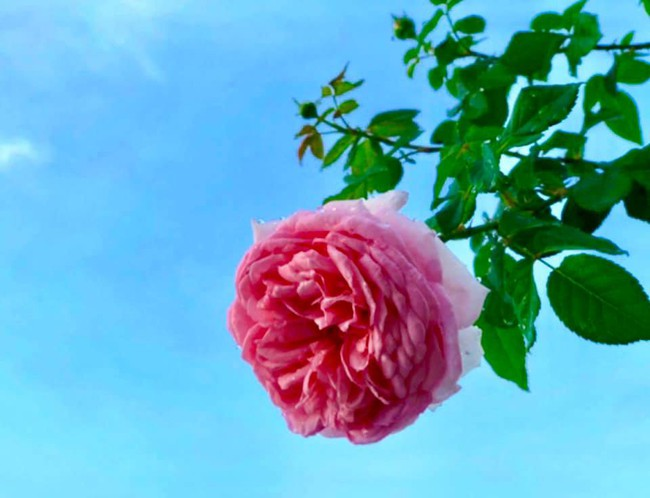 Vườn hồng với đủ loại hồng cổ, hồng ngoại khoe sắc trong biệt thự của MC Quyền Linh - Ảnh 8.