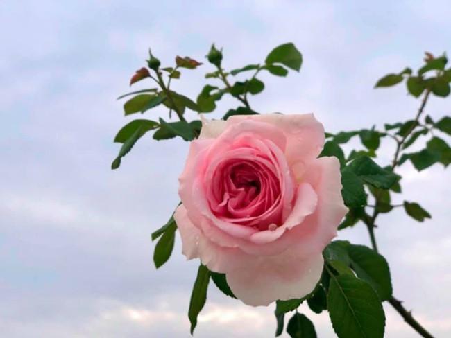 Vườn hồng với đủ loại hồng cổ, hồng ngoại khoe sắc trong biệt thự của MC Quyền Linh - Ảnh 7.