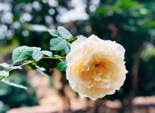 Vườn hồng với đủ loại hồng cổ, hồng ngoại khoe sắc trong biệt thự của MC Quyền Linh - Ảnh 6.