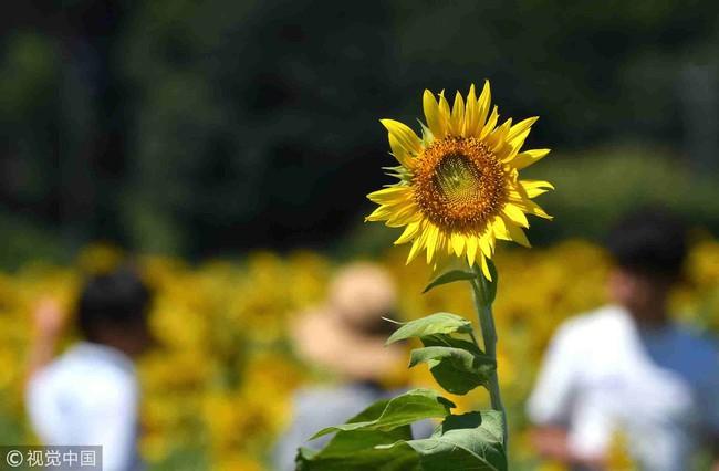 Cánh đồng hoa hướng dương triệu bông đẹp như bức tranh khổng lồ vào mùa thu ở Nhật Bản - Ảnh 6.